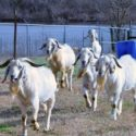 HBCU Research Aims to Enhance Goat Meat Production in the U.S.